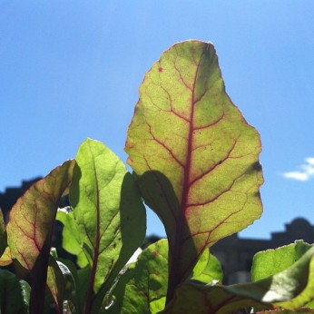 Beet plant