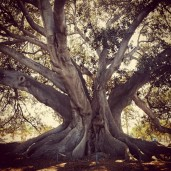 Largest Fig Tree in the U.S.